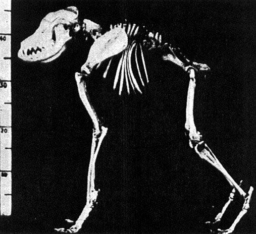 Esqueleto del perro japonés de columna corta